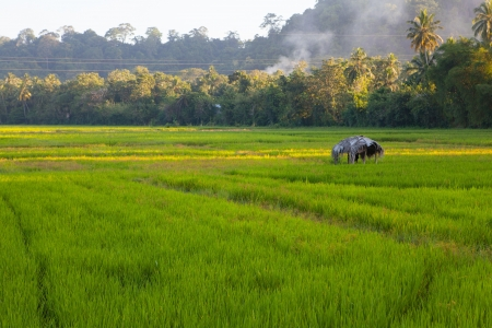 Young and Ripening rice in a rice field