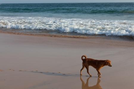 Dog Walking on a Tropical Beach in Sri Lanka photo