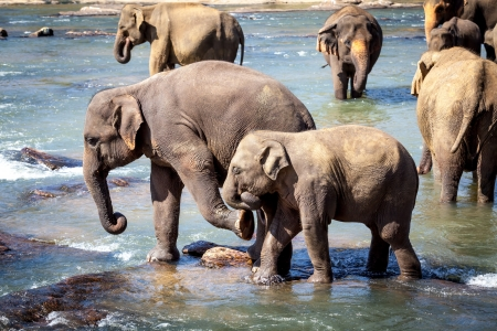 Older Elephant Kicking Young Elephant, Bathing in River photo