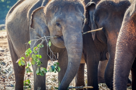 Elephant Eating in Group of other Elephants Stock Photo