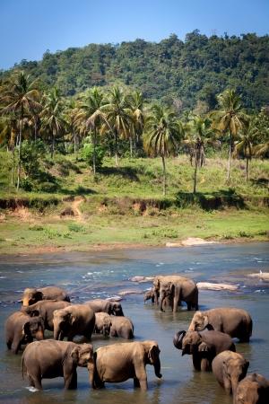 Elephants Bathing in River, Central Sri Lanka