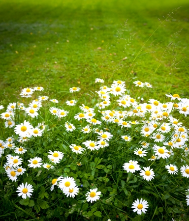 Daisies on mown lawn as a background Stock Photo