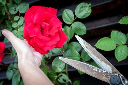 Girl cutting rose