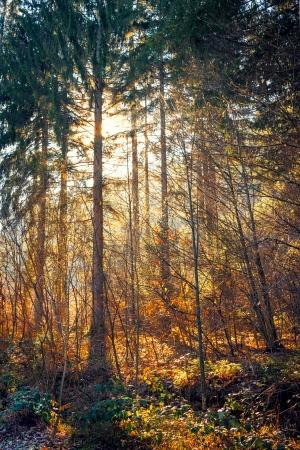 Sun light rays through autumn trees, in forrest