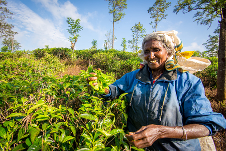 ELLA, SRI LANKA - FEBRUARY 20, 2016: Unidentified woman picking tea on plantation, near Nuwara Eliya