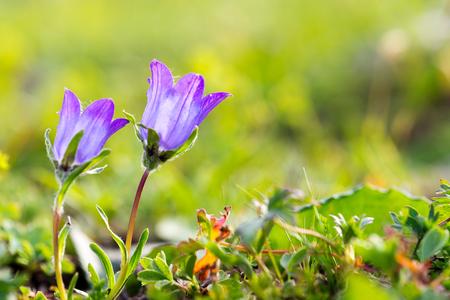 Beautiful Violet Flower. Artvin Turkey