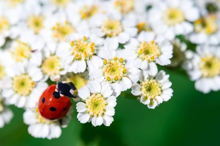 Detailed macro image of a ladybug on a flower Stock Photo