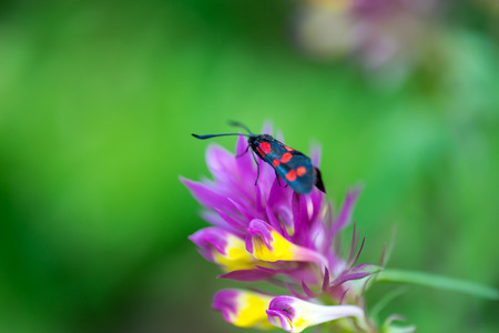 Beautiful butterfly with black and red wings sits on the flower. Macro Photo