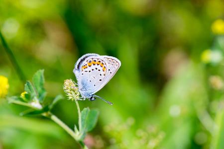 polyommatus icarus: Karner Blue Butterfly (Polyommatus icarus) macro.
