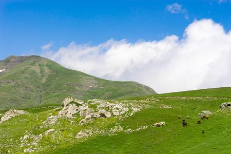 Highland cows on a field, Giresun, Turkey Stock Photo