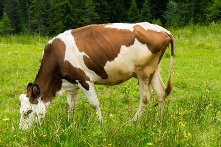 Cattle on a Field Highland Rize, Turkey Stock Photo