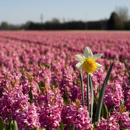 Daffodil in purple hyacinth field photo
