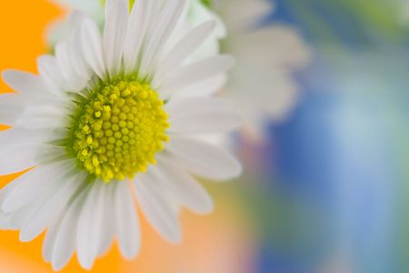 Close up of white daisy. Bright background. photo