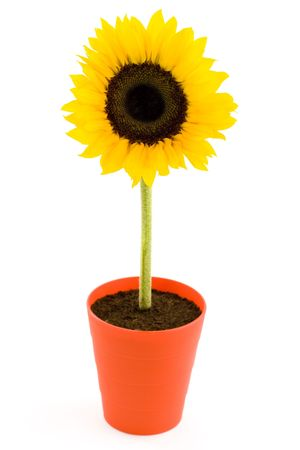 Sunflower in a pot. Isolated on white background photo