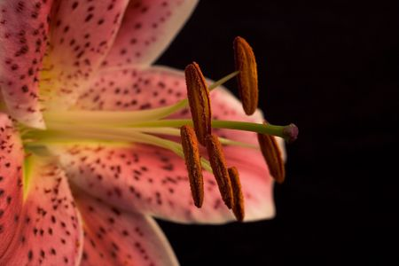 Pink lily with copy space photo