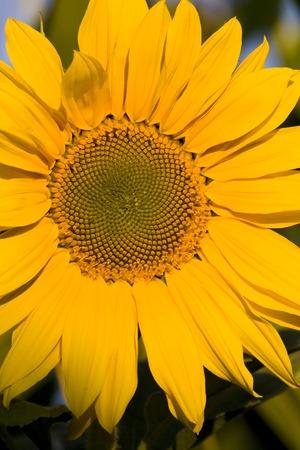 Sunflower Stock Photo - 1647191
