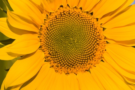 Sunflower Stock Photo - 1647192