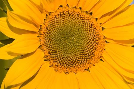 Sunflower Stock Photo - 1647192