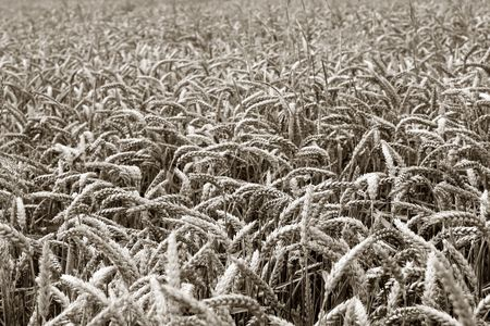 Wheat plants on a field. Sepia tonned. photo