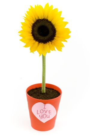 Sunflower in a pot and paper heart. Isolated on white photo