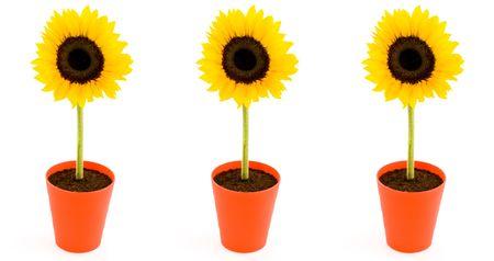 Sunflowers. Isolated on white background photo