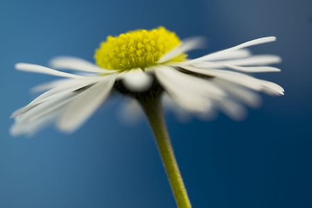 close up of white daisy on artistic backgroundnn photo