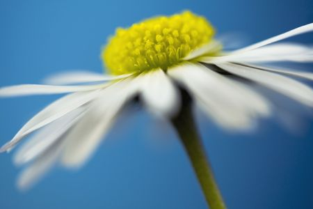 close up of white daisy on artistic background photo