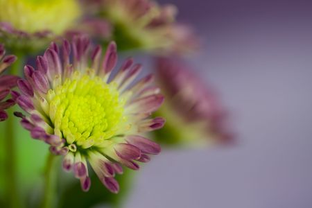 multy: Daisy flowers on multy colored background. Selective focus