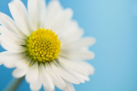 close up of white daisy on blue sky background photo