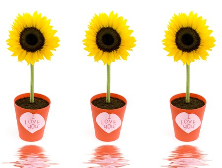 Sunflowers in pots and paper hearts with soft focus reflected in the water photo