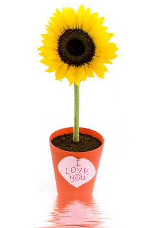 Sunflower in a pot and paper heart with soft focus reflected in the water photo