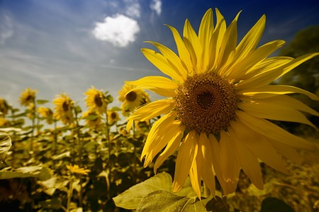 A field of sunflowers, in the south of France. Stock Photo - 4330943