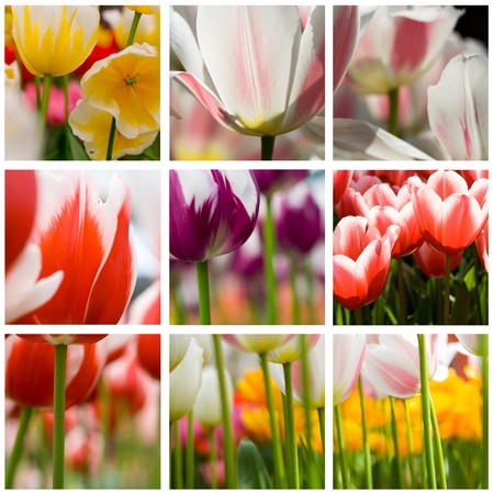 beautiful tulips collage made from nine photos photo