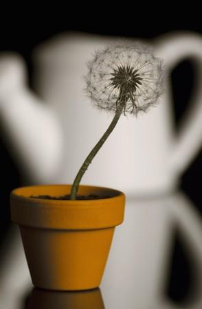 b ball: Dandelion in the pot over black Stock Photo