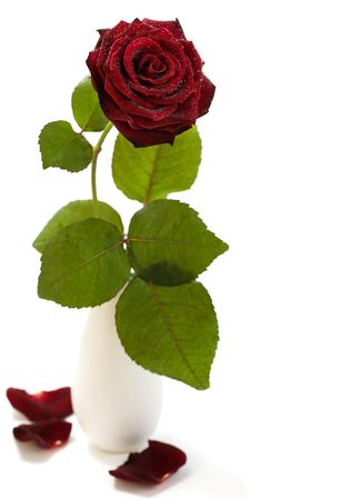red rose with water droplets on white background Stock Photo - 4705641