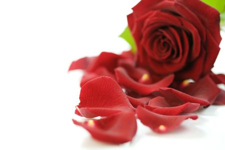 Red Rose & Petals on a white background photo