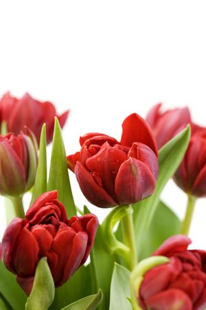compliment: fresh tulips with water droplets on white background