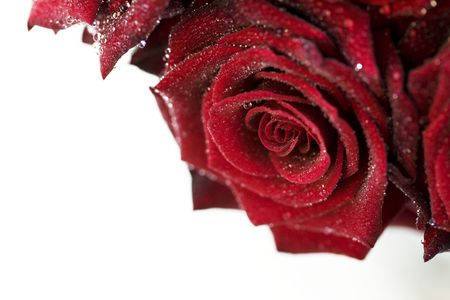 red roses with water droplets on white background photo