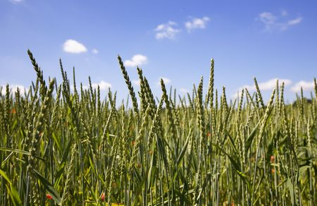 Beautiful summer background in vibrant colors. Young green wheat standing over the clear blue sky. photo