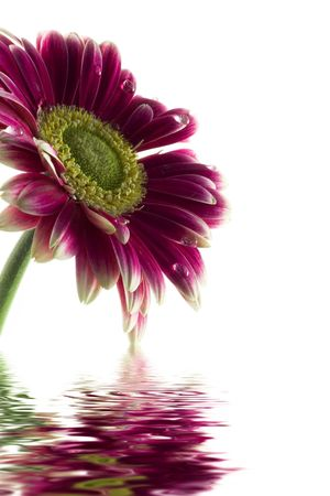 Closeup of pink daisy-gerbera with soft focus reflected in the water photo