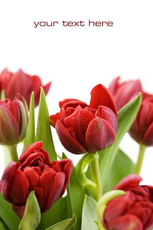 red tulips: fresh tulips with water droplets on white background (with sample text)