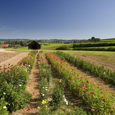 Rows of flowers and Beautiful summer landscape (France) Stock Photo - 6116040