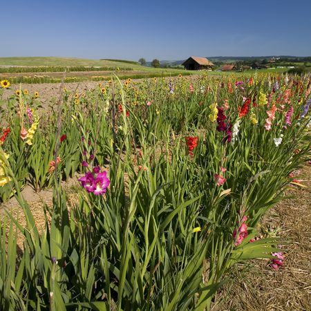 Rows of flowers and Beautiful summer landscape (France) Stock Photo - 6116043