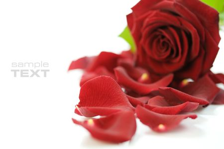 Red Rose & Petals on a white background. With sample text photo