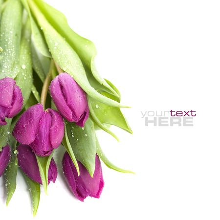 Pink tulips with water droplets on white background. With sample text.. photo
