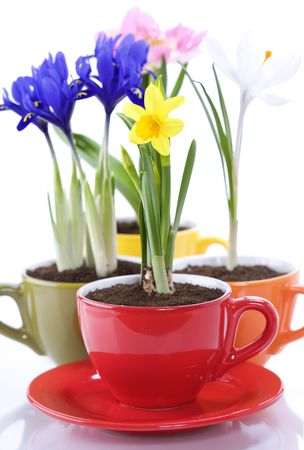 growing spring flowers in a cup (spring concept) photo