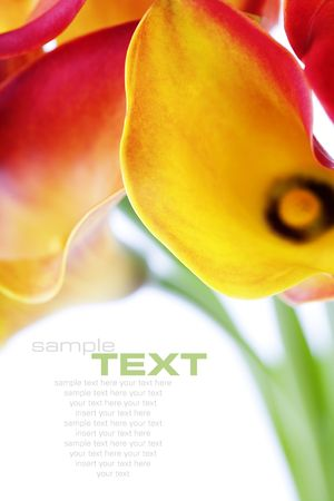 Beautiful calla lilies, isolated on white, with soft shadow  photo
