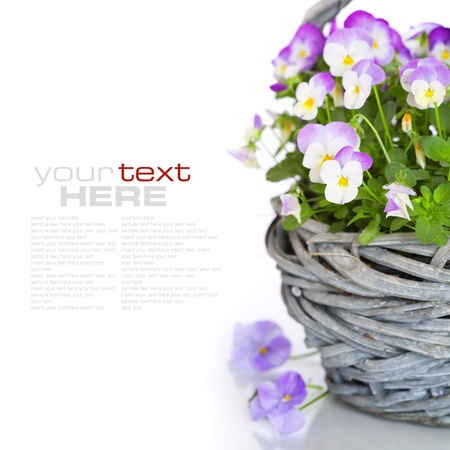 close-up of colourful viola flowers in a basket with sample text photo