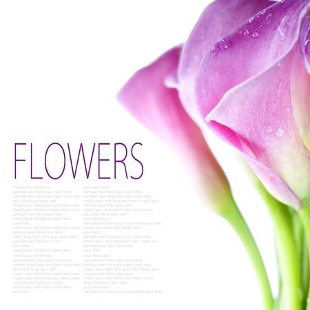 Beautiful pink calla lilies on white background photo