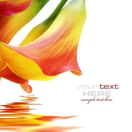 sample text: Beautiful calla lilies, isolated on white, with reflection and sample text